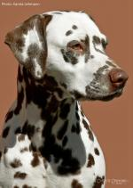 Mochacchino Dalmatian Dream