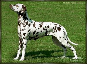 Mochaccino Dalmatian Dream