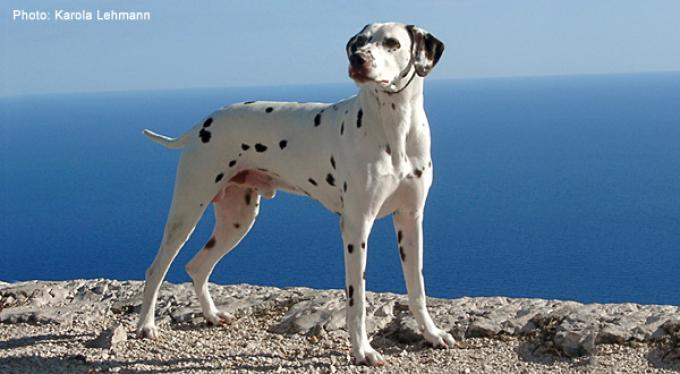 Stud dog Lacrima Christi Calypso