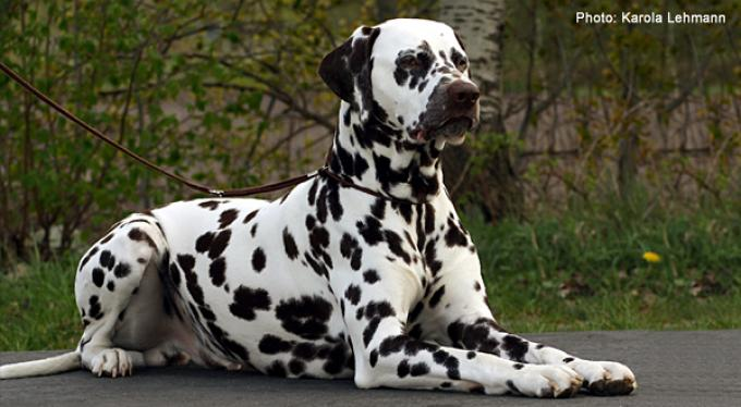Stud dog Christi ORMOND European Illusion