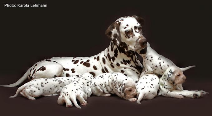 Breeding bitch Mochaccino Dalmatian Dream