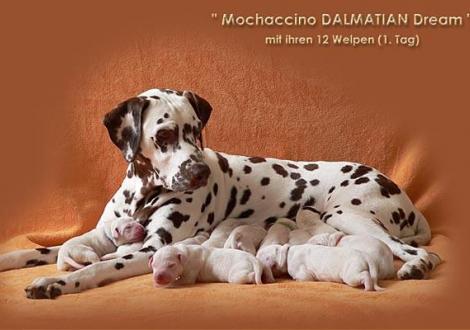 Mochaccino Dalmatian Dream mit ihrem Christi ORMOND E - Wurf 1. Lebenstag