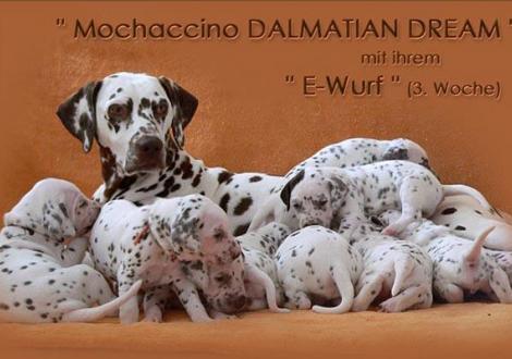 Mochaccino Dalmatian Dream mit ihrem Christi ORMOND E - Wurf 3. Lebenswoche