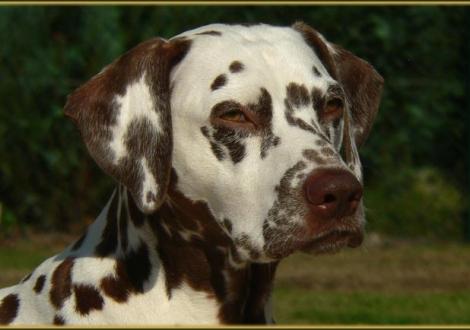 Stolze Mutter, unsere Zuchthündin Mochaccino Dalmatian Dream