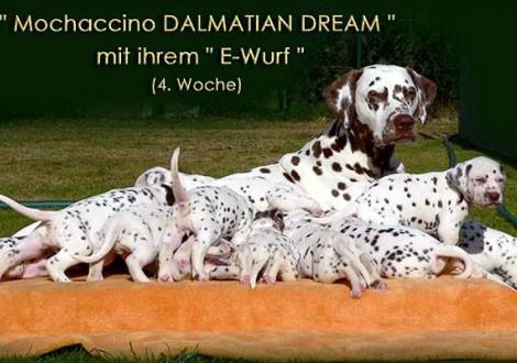 Mochaccino Dalmatian Dream mit ihrem Christi ORMOND E - Wurf 4. Lebenswoche