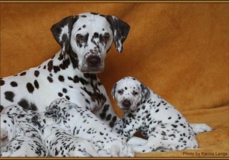 Mutter Mochaccino Dalmatian Dream und Rüde Nr. 3