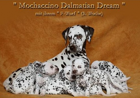 Mochaccino Dalmatian Dream mit ihrem Christi ORMOND F - Wurf 3. Lebenswoche