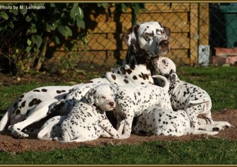 Christi ORMOND`S und Mutter Mochaccino Dalmatian Dream