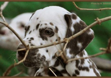 Christi ORMOND First Fairytale (genannt Hope) Verbleibt in unserer Zuchtstätte Christi ORMOND Dalmatiner