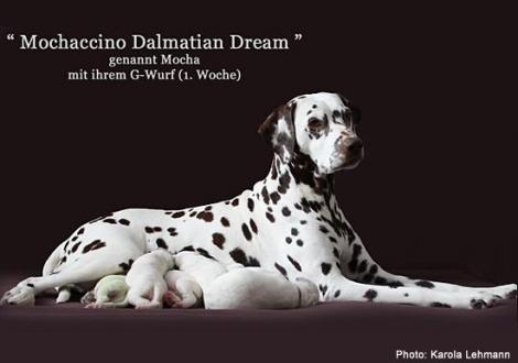 Mochaccino Dalmatian Dream mit ihrem Christi ORMOND G - Wurf 1. Lebenswoche