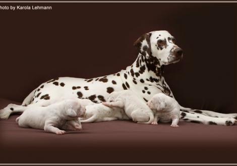Mutter Mochaccino Dalmatian Dream (genannt Mocha) mit ihren Welpen 2. Lebenswoche