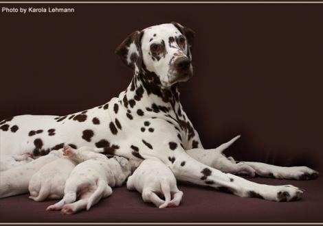Mutter Mochaccino Dalmatian Dream (genannt Mocha) mit ihren Welpen