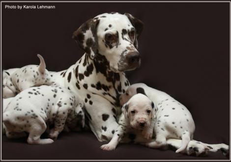 Mutter Mochaccino Dalmatian Dream (genannt Mocha) mit ihren Welpen 3. Lebenswoche