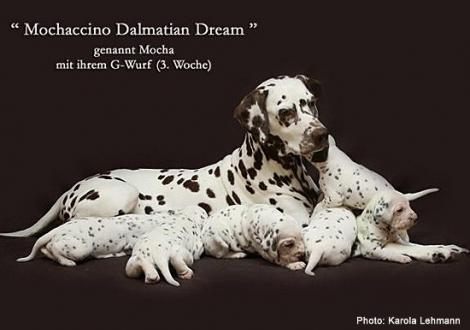 Mochaccino Dalmatian Dream mit ihrem Christi ORMOND G - Wurf 3. Lebenswoche