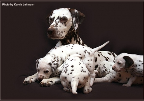 Mother Mochaccino Dalmatian Dream (called Mocha) with her puppies 4th week of life