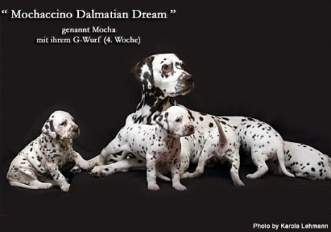 Mochaccino Dalmatian Dream with her Christi ORMOND G - Litter 4th week of life
