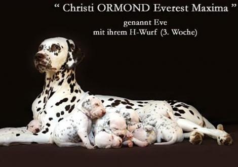 Christi ORMOND Everest Maxima mit ihrem Christi ORMOND H - Wurf 3. Lebenswoche
