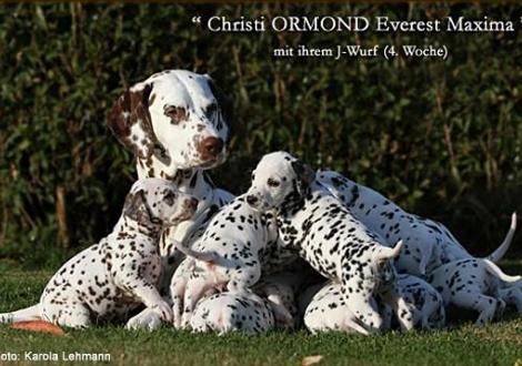 Christi ORMOND Everest Maxima mit ihrem Christi ORMOND J - Wurf 4. Lebenswoche