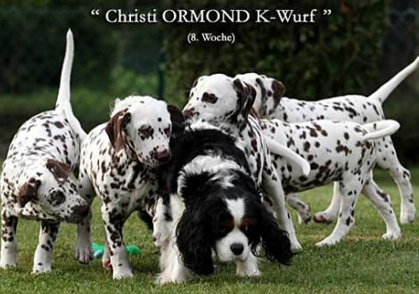 Der Christi ORMOND K - Wurf begrüßt Cavalier King Charles Hündin Mara die extra aus den Niederlanden angereist ist.