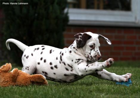 Christi ORMOND Lap Dog (male) - Sold to Brandenburg | Germany
