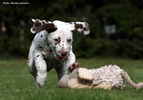 Christi ORMOND Lap Dog (Rüde) - Vermittelt nach Brandenburg