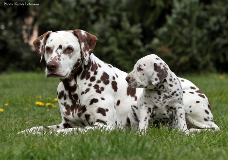 Left our female and grandma of the puppies Mochaccino Dalmatian Dream (13 years old) and Christi ORMOND Optimus Prime