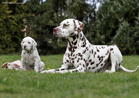 Left Christi ORMOND Octavius Gaius and right our male and granduncle of the puppies Christi ORMOND Exquisite Selection
