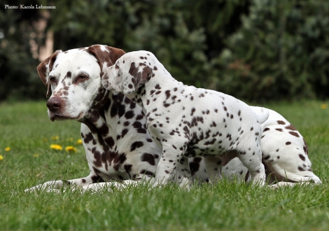 Left our female and grandma of puppies Mochaccino Dalmatian Dream (13 years old) and right Christi ORMOND Optimus Prime