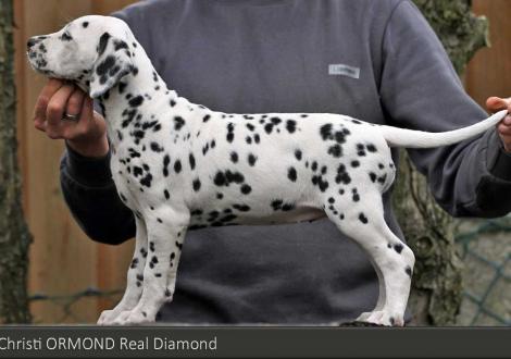 Christi ORMOND Real Diamond | Hündin