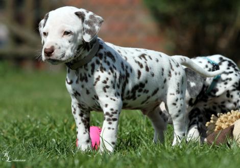 Christi ORMOND Rhythm and Blues | male, colour white - liver (collar gray)