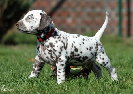 Christi ORMOND Ring of Fire | male, colour white - liver (collar red)