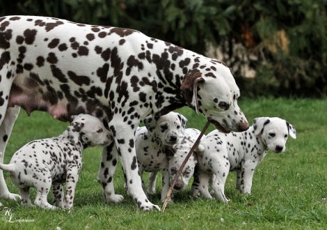 Mother Christi ORMOND First Fairytale with her puppies