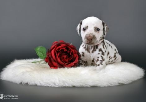 Christi ORMOND Xceptional Beauty | Hündin Farbschlag weiss - braun (Halsband Rot)