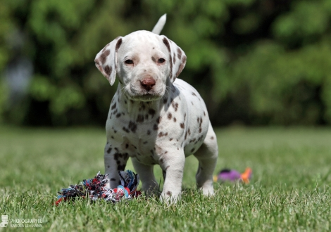 Christi ORMOND Xactly in Time | male color white - liver (collar black)