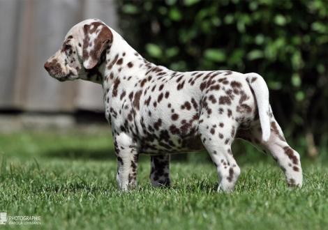 Christi ORMOND Xact Replica | male color white - liver (collar brown)