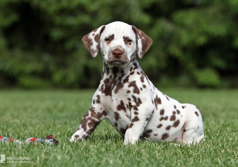 Christi ORMOND Xceptional Beauty | female color white - liver (collar red)