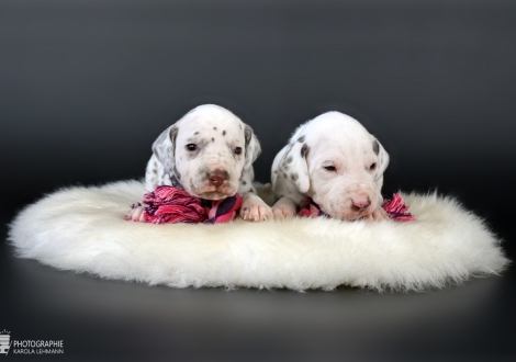 Christ ORMOND Xample for Imitation | female color white - liver (collar purple) and on the right Christi ORMOND Xactly in Time | male color white - liver (collar black)