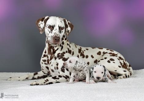 Tante Dalmatian Dream for ORMOND vom Teutoburger Wald mit Hündin | Farbschlag weiss - braun (Halsband Orange) und Hündin | Farbschlag weiss - schwarz (Halsband Rot)