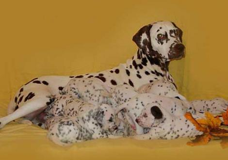 Mochaccino Dalmatian Dream mit ihrem Christi ORMOND C - Wurf 3. Lebenswoche