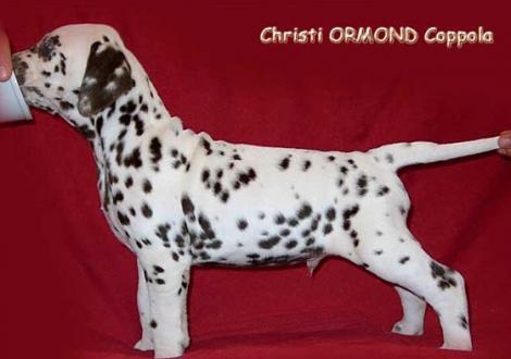Verbleibt in der Zuchtstätte Christi ORMOND Dalmatiner
