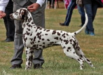 Dalmatian Dream For ORMOND vom Teutoburger Wald
