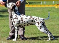 Dalmatian Dream for ORMOND vom Teutoburger Wald age 10 month
