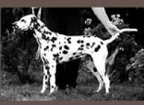 Bella Dalmatian Dream