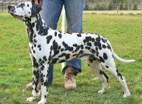 Stud dog Christi ORMOND Centurio