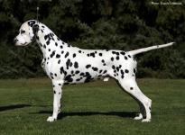 Stud dog Spotnik's First Farao For Ormond