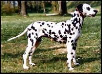 Ebony 101 Dalmatiner