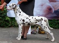 Puding Dog Knjaz Terletskiy
