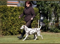 The dog as lead in racing, which is a sufficient distance from the dog handler present for curves or triangles can be run successfully