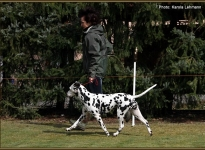 Leading the dog at the same speed at the trot properly