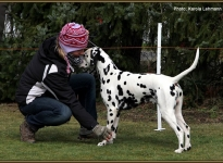 Controlled readjustment of the dog when setting up in the show ring